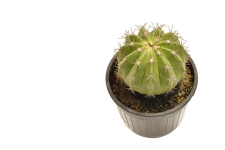 Cactus in a pot  Isolated on a white background  photo