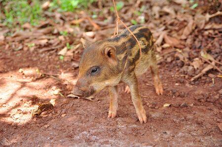 a cute pigs on a pigfarm , Thailand Stock Photo - 13862577