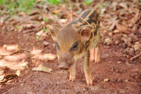 a cute pigs on a pigfarm , Thailand Stock Photo - 13862512