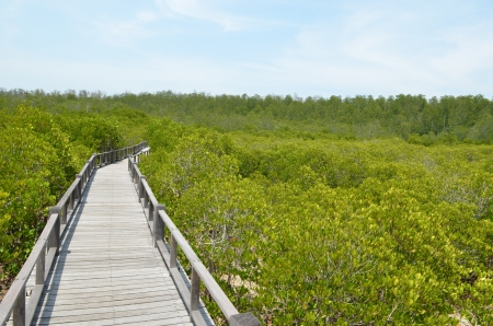 the mangrove forest in Thailand Stock Photo - 14461238