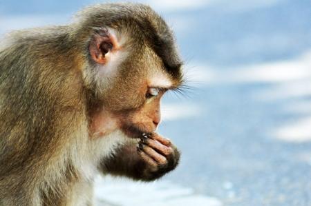 A Macaque monkey Stock Photo