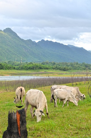 Cows on meadow with green grass photo