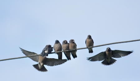 swallows on a wire photo