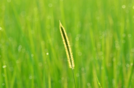 Lush green rice field Stock Photo - 14509888