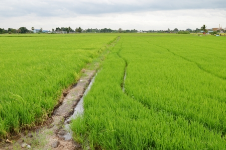 agriculturalist: Paddy Rice Fields
