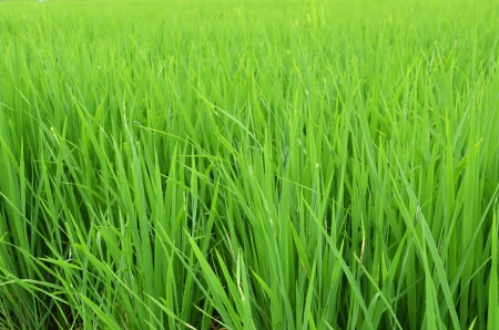rice field background Stock Photo - 14868970