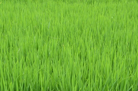 Green rice fields of Thailand photo