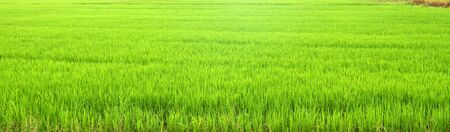 The beautiful landscape of rice fields in Thailand photo