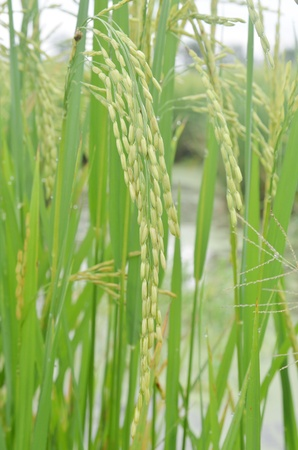 Rice  Spikelet of rice on the background of green leaves Stock Photo - 15674486