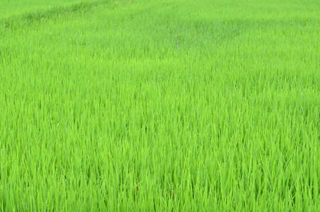 rice plant: rice field, nature background