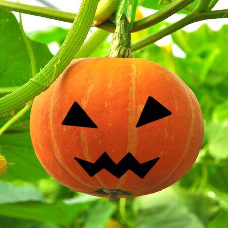 Scary Jack on pumpkin growing on a pumpkin patch
