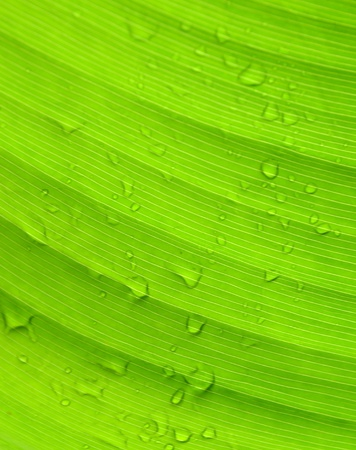 Banana leaf texture background photo