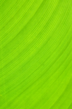 structured: Banana leaf texture background