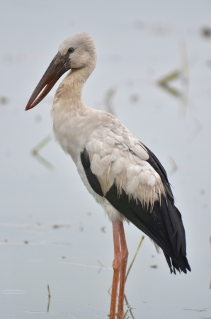 oscitans: Open billed Stork bird, Anastomus oscitans in the water