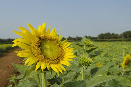 Landscape with sunflower photo