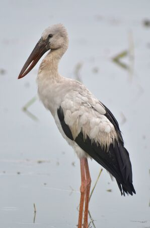 Open billed Stork bird, Anastomus oscitans in the water Stock Photo - 16790651