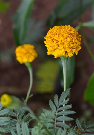 Park, bright yellow marigold moist with condensation  photo