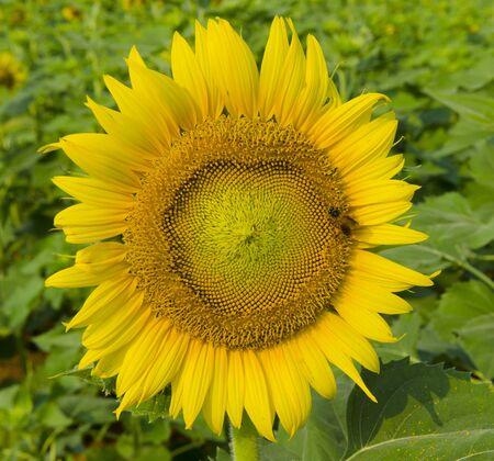 bri: Sunflowers