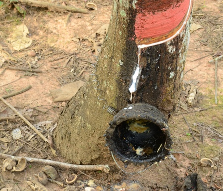 tapper: Rubber tree with wooden bowl in rubber plantation, Yan Ta Khao District, Trang Province. Thailand.