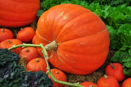 Giant pumpkin in vegetable farms  photo