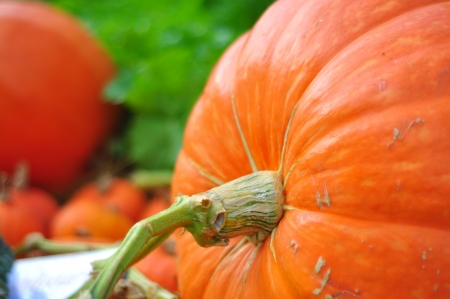 Giant pumpkin in vegetable farms  Stock Photo - 17368502