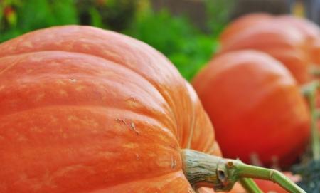 Giant pumpkin in vegetable farms  photo