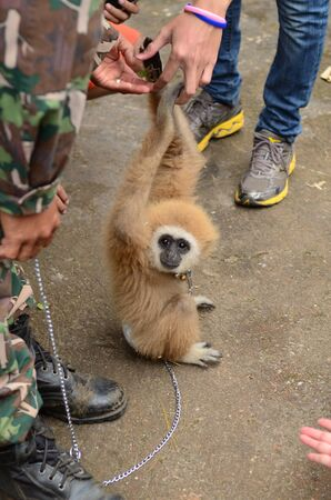 gibbon with chain Stock Photo - 17368517