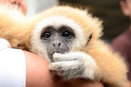 Gibbon face close up Stock Photo - 17368497