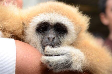 primer plano cara: Gibbon cara de cerca