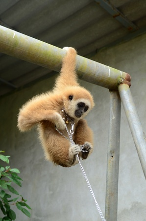 gibbon with chain Stock Photo - 17418663