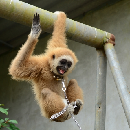 gibbon with chain Stock Photo - 17418422
