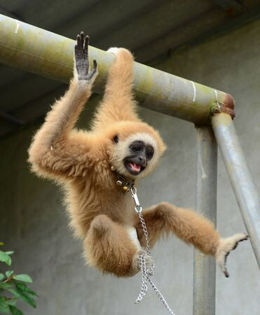 gibbon with chain Stock Photo - 17418648