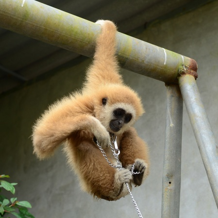 gibbon with chain Stock Photo - 17418404