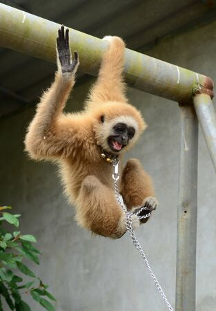 gibbon with chain Stock Photo - 17418655