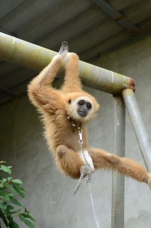 gibbon with chain Stock Photo - 17418664