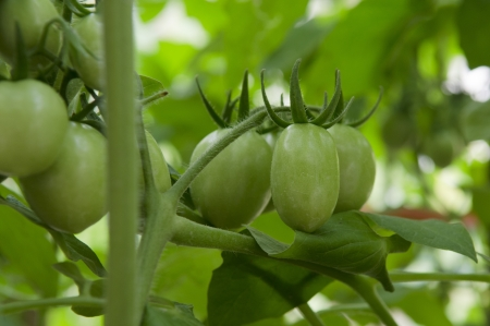 Green Tomatoes in a garden photo
