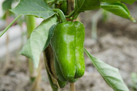 fresh green bell peppers, paprika in garden photo