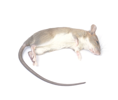 dead rat: A Dead Mouse Isolated on White Background