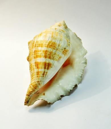 murex shell: Purple Dye Murex shell