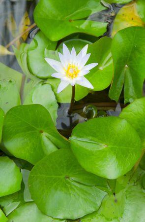 white lotus on water Stock Photo - 18696620