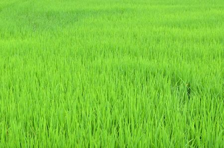 agriculturalist: rice field, nature background