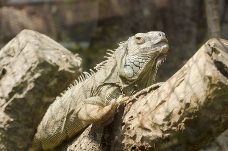 Iguana in  Thailand photo