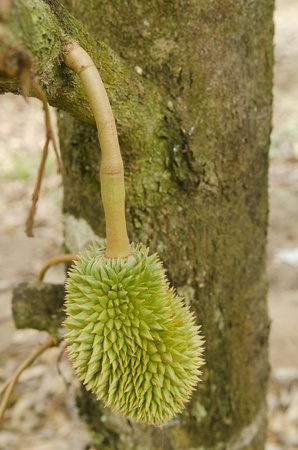 Fresh Durian on tree in moist orchard at Chanthaburi, Thailand photo