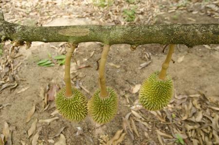 Fresh Durian on tree in moist orchard at Chanthaburi, Thailand photo