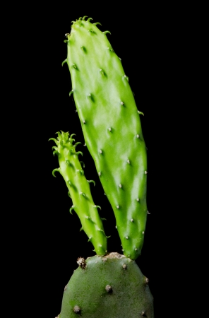 Close-up of cactus on black background photo