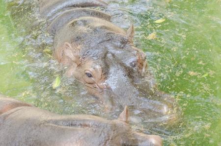 extant: el artiodactyl existante m�s pesado, o el hipop�tamo Hippopotamus amphibius