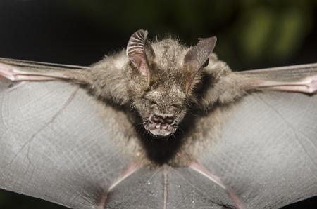 chauve souris: Chauve-souris dans la main du chercheur, de travaux de recherche dans le domaine. Banque d'images