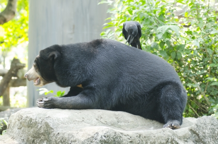 Black bear in  Thailand photo