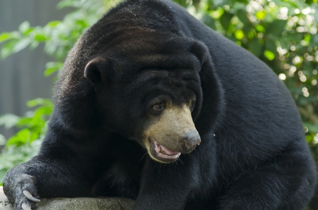 angry teddy: Black bear in  Thailand