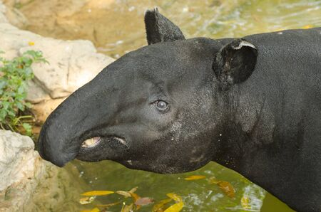 Malayan Tapir in the water photo